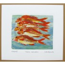 Shoal of Red Mullet