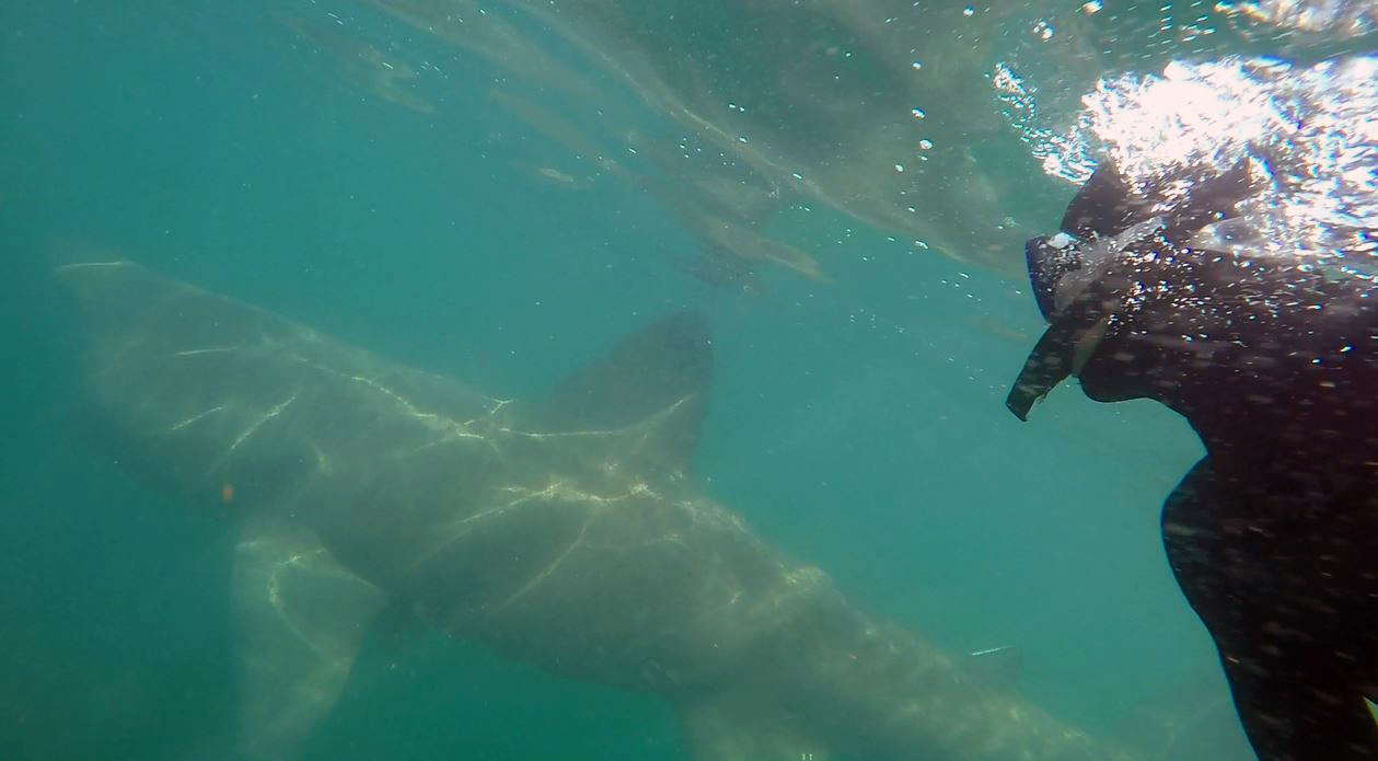 Richard swims with a Basking Shark in the Hebrides